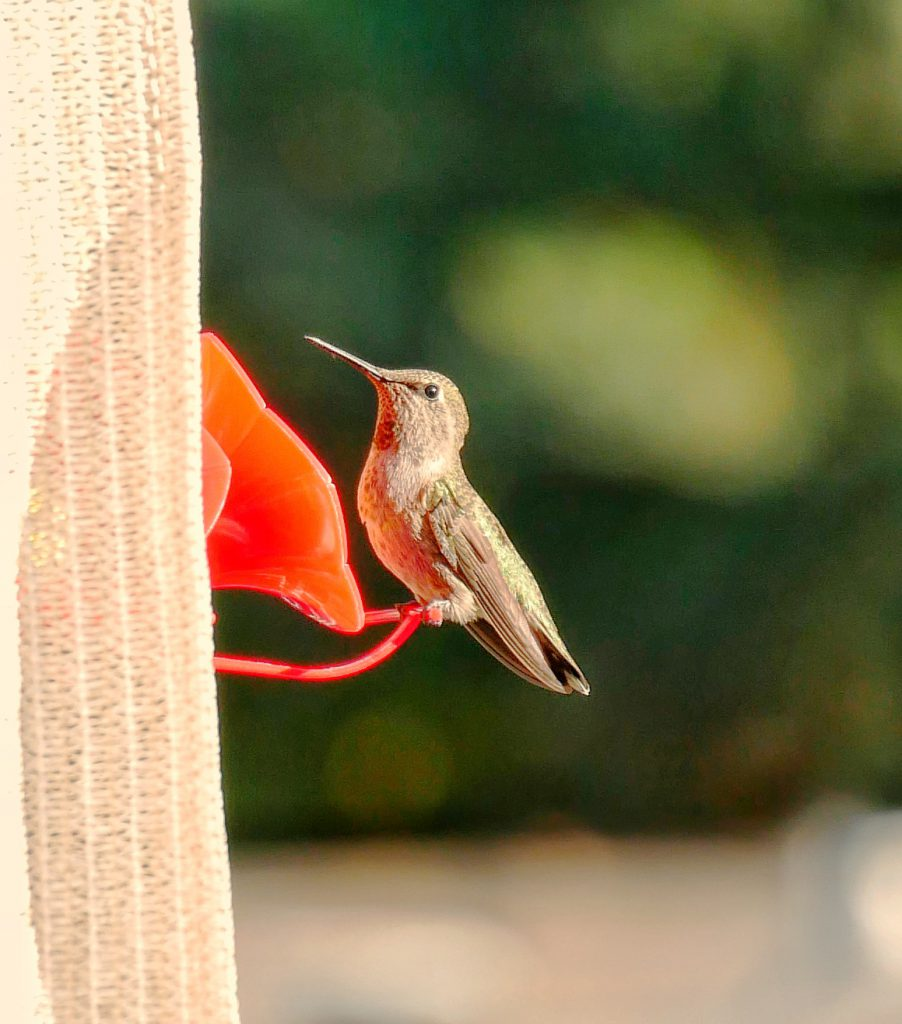 Humming Bird (After SnapSeed)