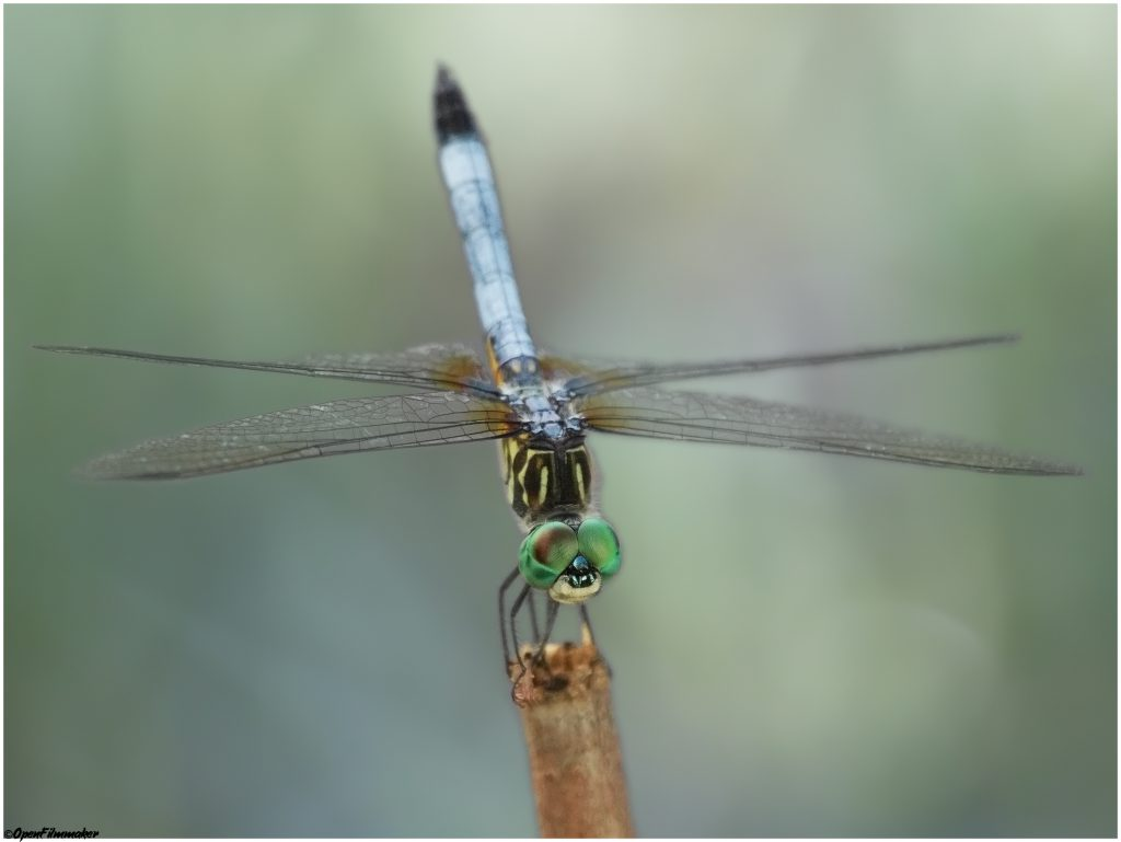 Dragonfly looks like a helicopter