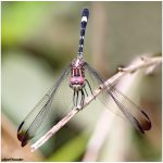 Dragonflies and Sensors: The Quest for Image Quality (Canon vs. Panasonic)
